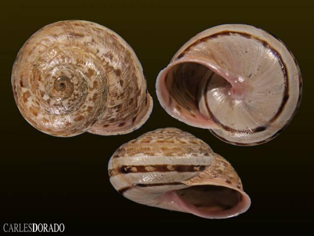 Iberus marmoratus