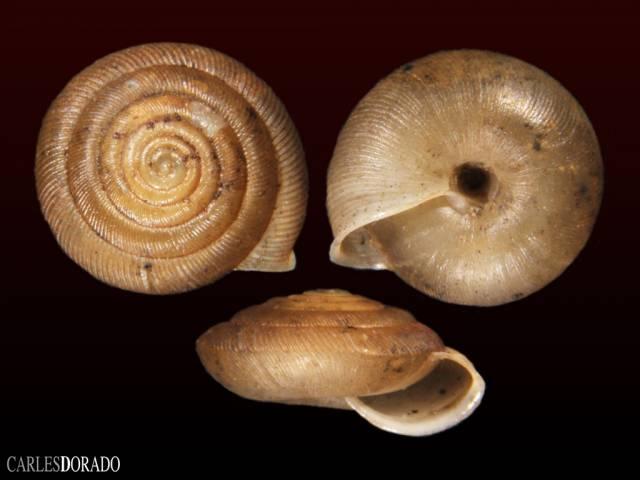 Oestophora tarnieri