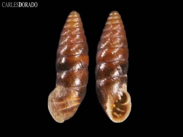 Abida secale lilietensis