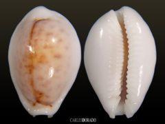 Erosaria boivinii f. cuatoni – NICE COLOR