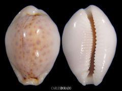 Erosaria boivinii f. cuatoni – VERY HEAVY