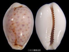 Erosaria boivinii f. cuatoni – NICE SPOTS