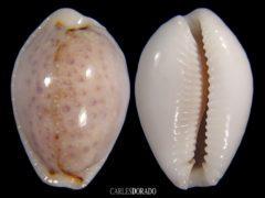 Erosaria boivinii f. cuatoni