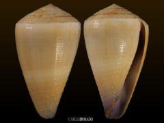 Conus frigidus