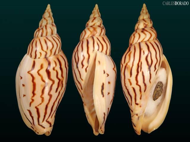 Harpulina loroisi var. keralensis