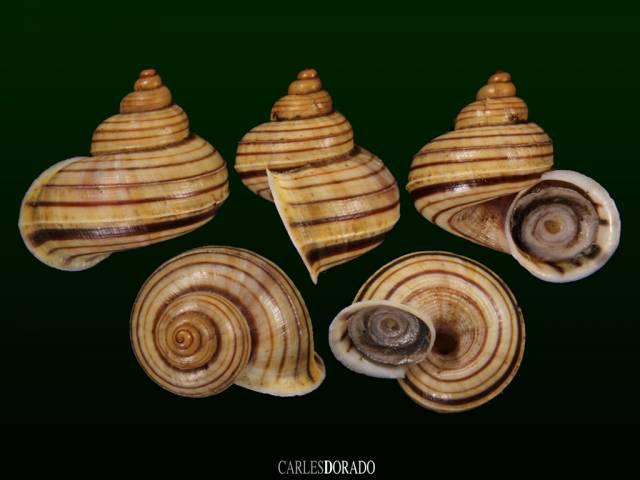 Tropidophora perinetensis