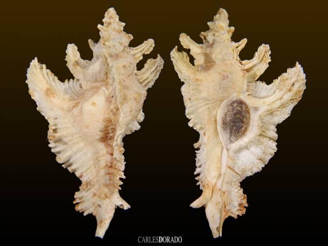 Oterochelus acanthopterus