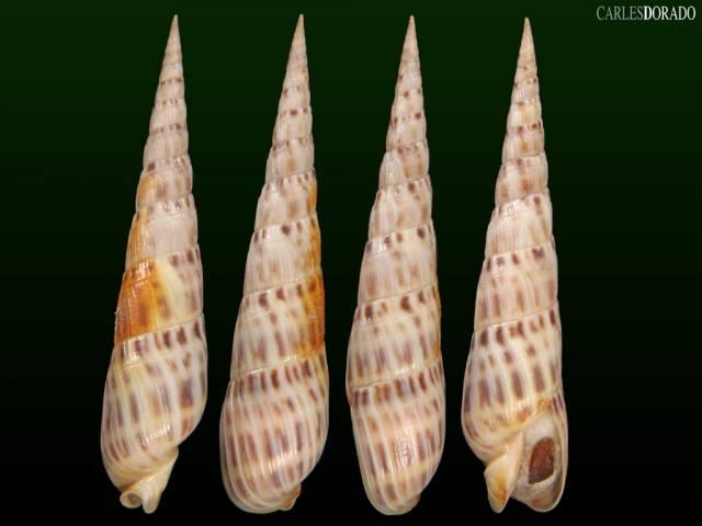 Terebra senegalensis