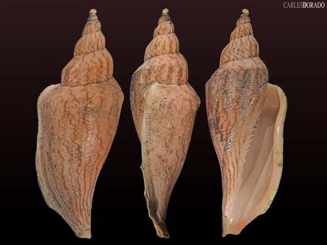 Fulgoraria ericarum