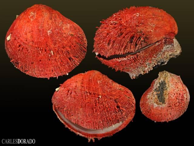 Spondylus senegalensis