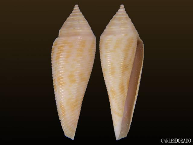 Conus vimineus