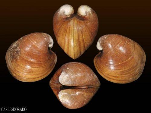 Glossidae