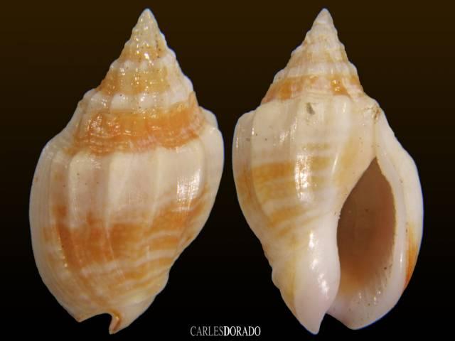 Cyllene lamarcki