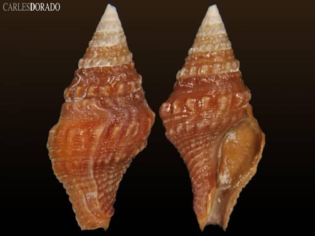 Clavatula bimarginata