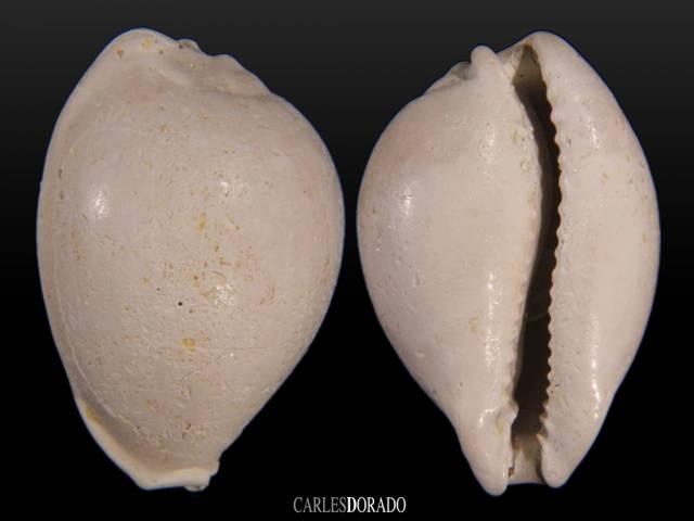 Cypraea bartonensis