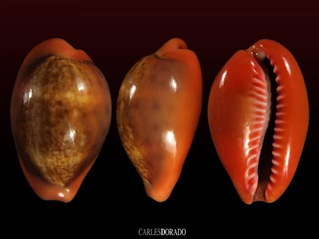 Zonaria pyrum nigromarginata