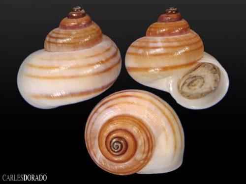 Pomatiasidae