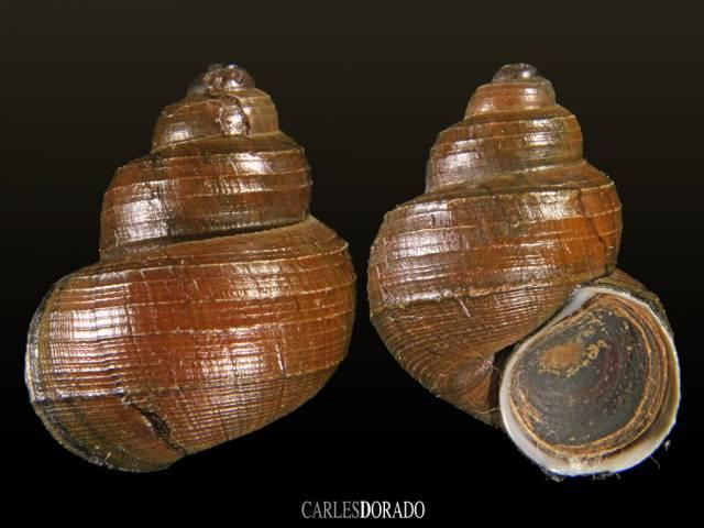 Angulyagra species
