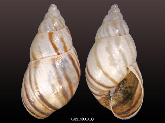 Peronaceus ameghinoi