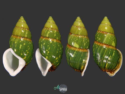 Amphidromus heinrichhuberi