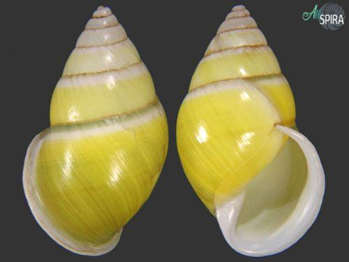 Amphidromus givenchyi