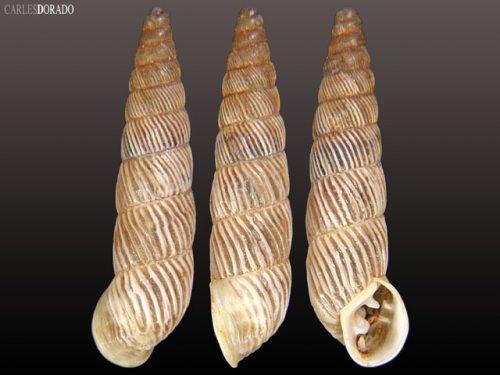 Spixia aff. columellaris