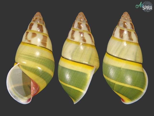 Amphidromus tedbaeri