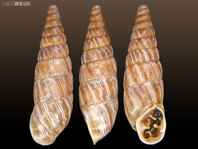 Spixia maculosa