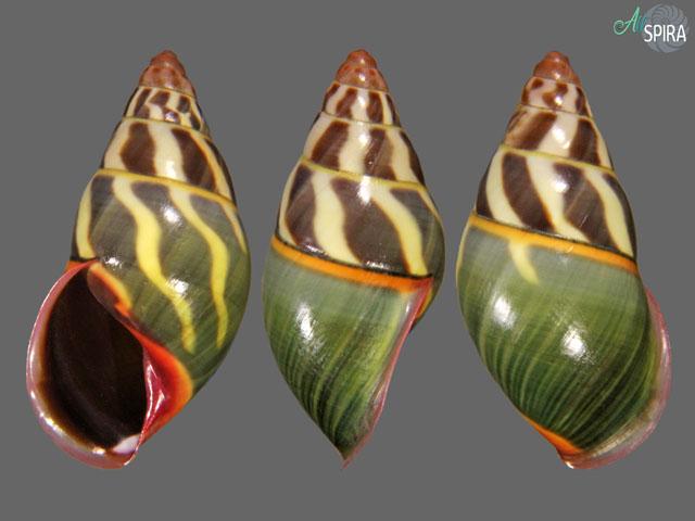 Amphidromus cf fuscolabris