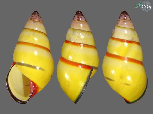 Amphidromus cf mariae