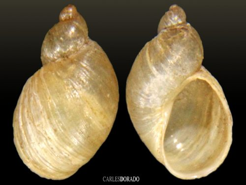 Pseudosuccinea columella