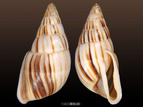 Anctus laminiferus
