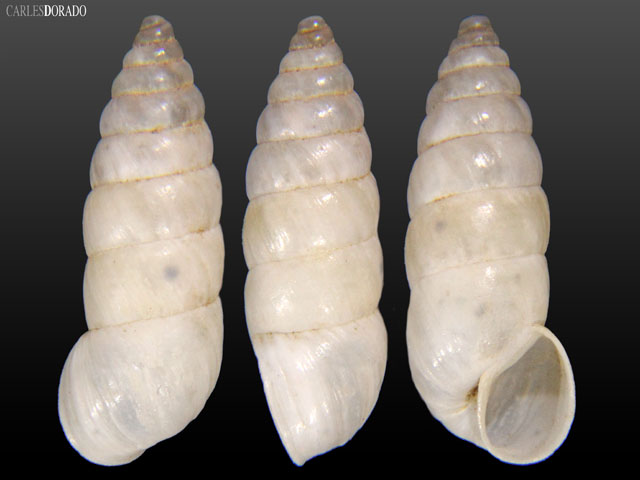 Bostryx scabiosus