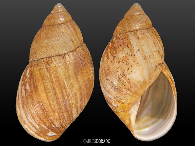 Bothriembryon chilensis
