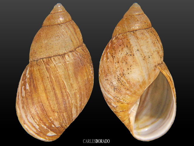 Bothriembryon chilensis var.