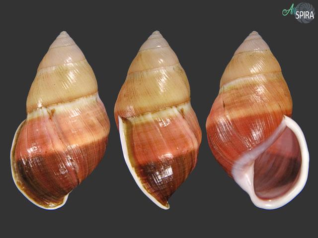 Amphidromus naggsi