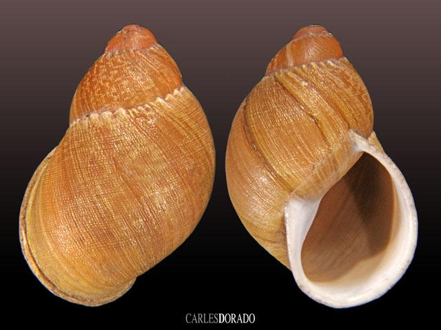 Chiliborus chilensis