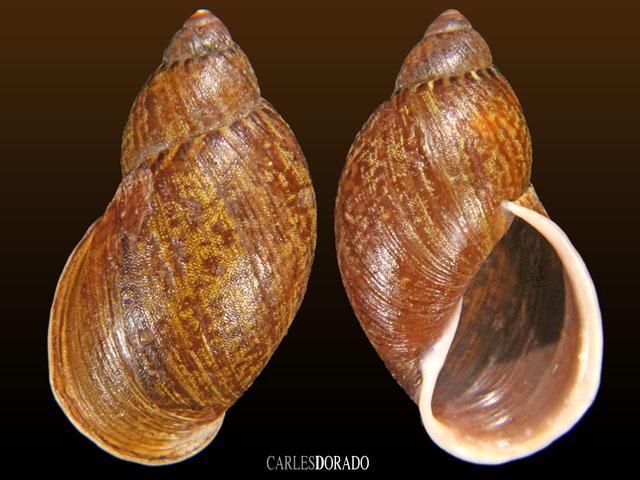 Plekocheilus mabillei