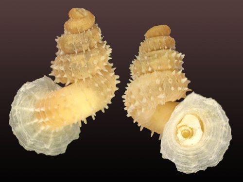 Xenopoma aguayoi