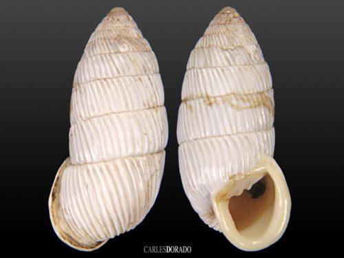 Cerion sublaevigatum