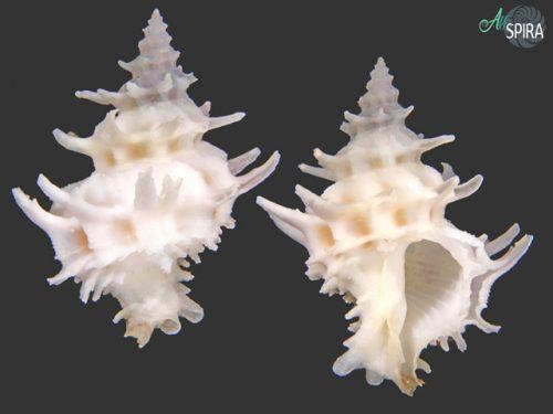 Coralliophilidae