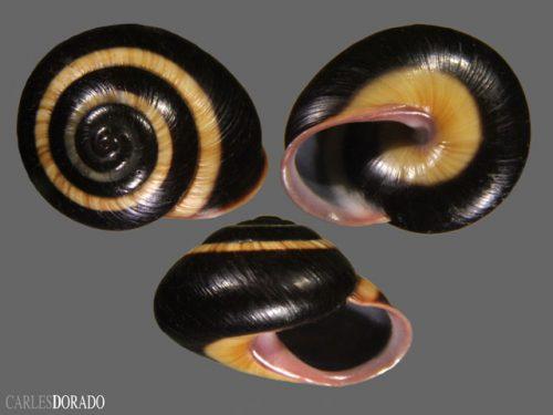 Helminthoglyptidae