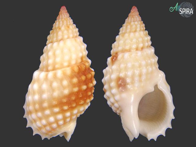 Nassarius papillosus