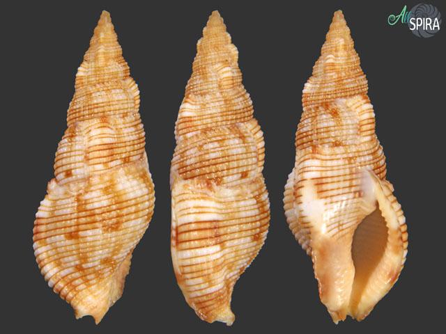 Colubraria sowerbyi