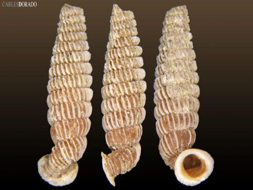 Cochlodinella bermudezi