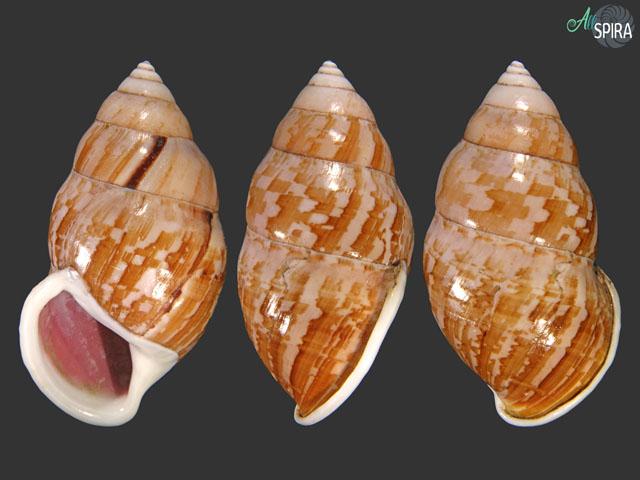 Amphidromus cambojiensis