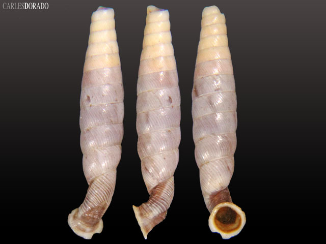 Urocoptis livida atkinsi paratype