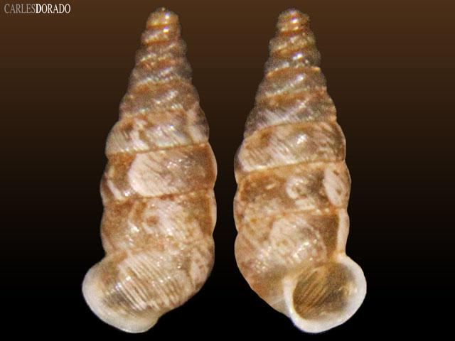 Microceramus bonairensis curacoanus