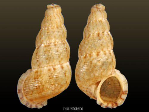 Chondropoma petitianum