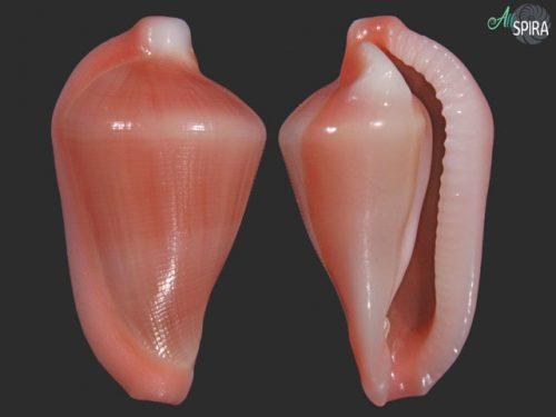 Dentiovula horai